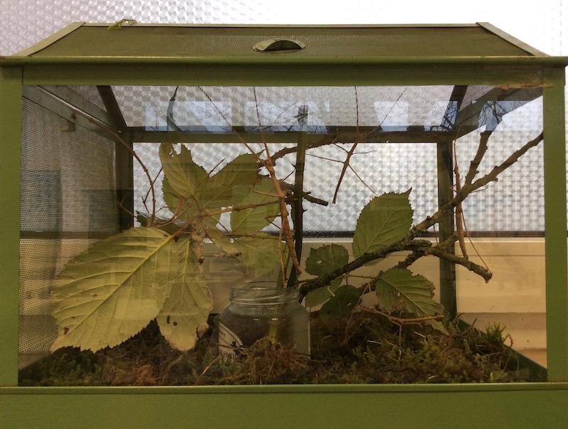 Bild Terrarium mit Stabschrecken